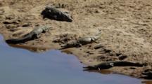 Nile Crocodiles (Crocodylus Niloticus) Resting And Sleeping On Sandbank In River Kruger National Park