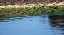 Nile Crocodile (Crocodylus Niloticus) Juvenile Swimming And Emerging On River Bank Kruger National Park