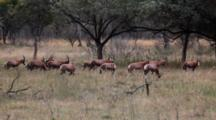 Roan Antelope (Hippotragus Equinus) Herd Grazing On Grass In Scrubland