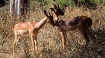 Impala (Aepyceros Melampus) Young Males Mutual Grooming In Scrub Kruger National Park