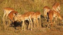 Impala (Aepyceros Melampus) Small Herd Browsing, In Grassland In Warm Late Afternoon Light Kruger National Park