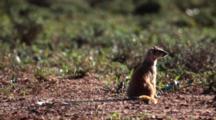 Meerkat Or Suricate (Suricata Suricatta) On Sentinel Duty Grooming Addo Elephant National Park