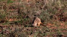 Meerkat Or Suricate (Suricata Suricatta) Digging Addo Elephant National Park