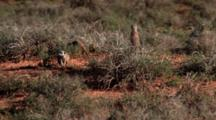 Meerkat Or Suricate (Suricata Suricatta) Clan On Rear Legs On Alert, Feeding, Digging Addo Elephant National Park
