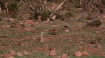 Meerkat Or Suricate (Suricata Suricatta) Small Clan Digging And Walking Addo Elephant National Park