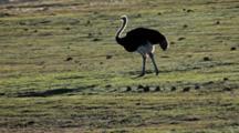 Ostrich (Struthio Camelus) Male Feeding In Grass Back Lit Rim Lighting