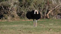 Ostrich (Struthio Camelus) Male Grooming