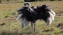 Ostrich (Struthio Camelus) Grooming With Feathers Spread Out