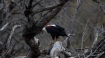 African Fish Eagle (Haliaeetus Vocifer) Feeding On A Fish In A Tree At Riverbank In Kruger National Park