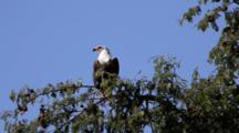 African Fish Eagle (Haliaeetus Vocifer) On Tree Expanding Wings, Turning Around At Riverbank In Kruger National Park