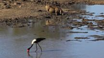 Saddle-Billed Stork (Ephippiorhynchus Senegalensis) Large Wading Bird In The Stork Family, Ciconiidae, In River Hunting And Feeding On Frogs With Warthog Or Common Warthog (Phacochoerus Africanus,