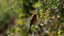 White-Fronted Bee-Eater (Merops Bullockoides) On Branch Displaying Kruger National Park