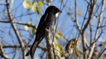 Bird, Possibly A Forked-Tailed Drongo, In Tree