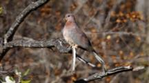 Laughing Dove Perched In Tree
