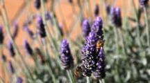 Common Honey Bee (Apis Mellifera) Drinking Nectar And Collecting Pollen From Lavender (Lavandula) Flowers