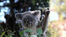Koala (Phascolarctos Cinereus) Is An Arboreal Herbivorous Marsupial Native To Australia Feeding On Eucalyptus Gum Trees And Shoots On Branches