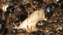 Carpenter Ants (Camponotus Sp.) In Nest Large Soldiers And Small Workers Care For And Guard Pupa In Cocoons