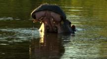 Hippo (Hippopotamus Amphibius) Yawns As It Emerges From River Kruger National Park