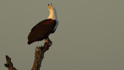 African Fish Eagle (Haliaeetus Vocifer) Sitting On Log Calling At Waterhole Kruger National Park