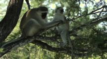 Vervet Monkey (Chlorocebus Pygerythrus) Mother With Infant In Tree With Infant Eating
