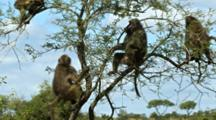 Chacma Baboon (Papio Ursinus), Also Known As The Cape Baboon, Family In Tree Adults And Infants Kruger National Park