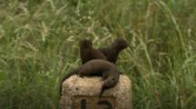 Common Dwarf Mongoose (Helogale Parvula) Group Playing On Roadside Bollard Kruger National Park