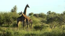 Giraffe (Giraffa Camelopardalis) Necking In Mating Ritual Kruger National Park