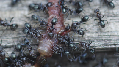 Argentine Ant (Linepithema Humile,Formerly Iridomyrmex Humilis) Workers eating earthworm