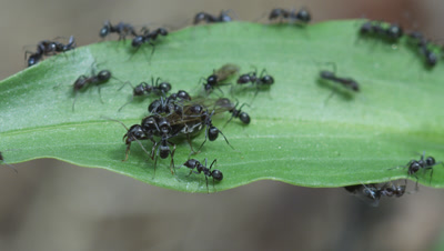 Argentine Ant (Linepithema Humile,Formerly Iridomyrmex Humilis) queen embarks on maiden flight assisted by workers