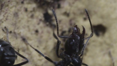 Argentine Ant (Linepithema Humile,Formerly Iridomyrmex Humilis) Workers in nest grooming