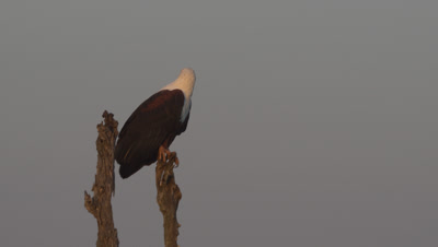 African Fish Eagle (Haliaeetus Vocifer) At Dawn Perched On Tree At Riverbank In Kruger National Park
