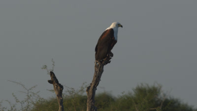 African Fish Eagles (Haliaeetus Vocifer) At Dawn Singing Perched On Tree At Riverbank In Kruger National Park