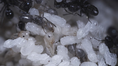 Argentine Ant (Linepithema Humile,Formerly Iridomyrmex Humilis) Workers Attending Pupae And Larva In Underground Nest,Licking,Grooming And Transporting Them
