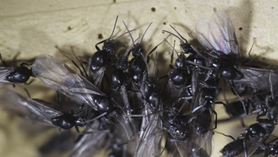 Argentine Ant (Linepithema Humile,Formerly Iridomyrmex Humilis) Workers Attending winged male reproductives In Underground Nest,Licking,Grooming Them