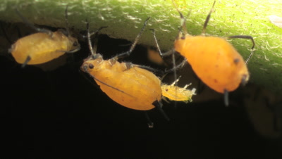 Female Aphid, also known as plant lice giving live birth while sucking sap from milkweed plant