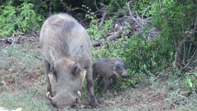 common warthog (Phacochoerus africanus)  with baby juvenile suckling in Addo Elephant National Park South Africa. Phacochoerus a genus of wild pigs in the Suidae family,known as warthogs. It is the sole genus of subfamily Phacochoerinae.