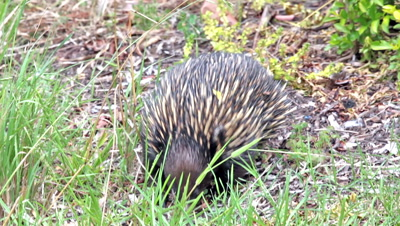 Short-beaked echidna (Tachyglossus aculeatus) is the only member of the genus Tachyglossus. Eating ants and raiding ant nest