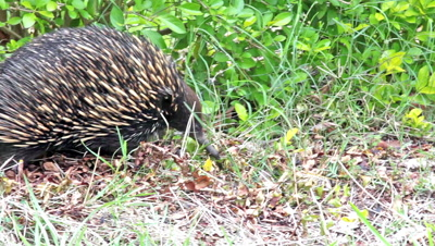Short-beaked echidna (Tachyglossus aculeatus) is the only me