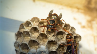 Polistes humilis is a species of the Vespidae family that can be found throughout Australia and New Zealand. Also known as the common paper wasp. Adults on nest attending to eggs.