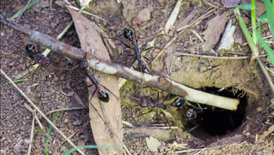 Australian bullants (also called bull ant also bulldog ant) (genus Myrmecia) at nest entrance moving twig