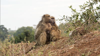 chacma baboon (Papio ursinus), also Cape baboon females and juveniles huddled at dawn walk off babies on back Kruger national Park South Africa