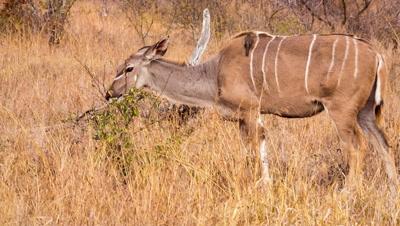 Greater kudu (Tragelaphus strepsiceros) female grazing on bush Kruger national Park South africa