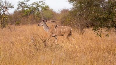 Greater kudu (Tragelaphus strepsiceros) female walking through grassland and bushland then grazing Kruger national Park South africa