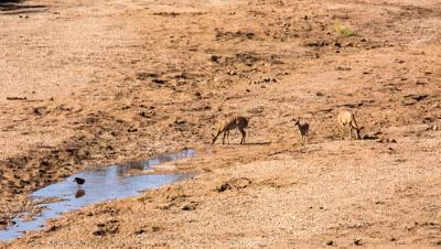 Greater Kudu (Tragelaphus Strepsiceros), A Woodland Antelope, Females drinking in riverbed, Kruger National Park