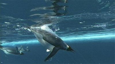 Antarctica Underwater Penguins, At Surface