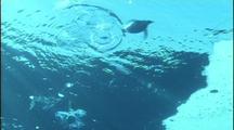 Antarctica Underwater Penguins