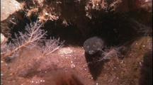 Underwater Dragonfish Eggs, Antarctica