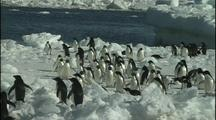 Anarctica Penguins On Ice Floe, Jump Out Of Water Onto Ice