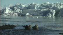 Antarctica, Skuas Bathe Ice In Background