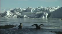 Antarctica, Skuas Bathing, Ice In Background